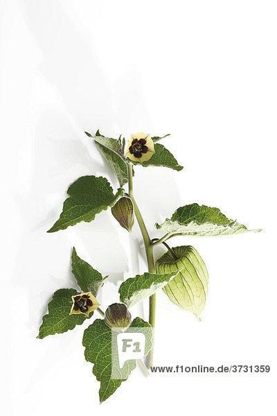 Zweig einer Kapstachelbeere (Physalis peruviana)  Blüten und Hülle der unreifen Frucht