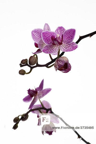 Falterorchidee (Phalaenopsis)  Orchidee