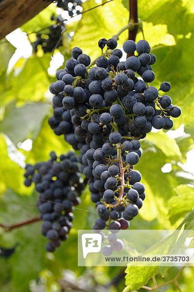 Weintraube (Vitis vinifera) wächst auf Madeira  Portugal  Europa