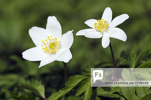Blühende Buschwindröschen (Anemone nemorosa) im Frühling