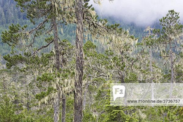 Kiefern Bartflechten (Usnea longissima)  Mitkof Island  Südost-Alaska  Alaska  USA  Nordamerika
