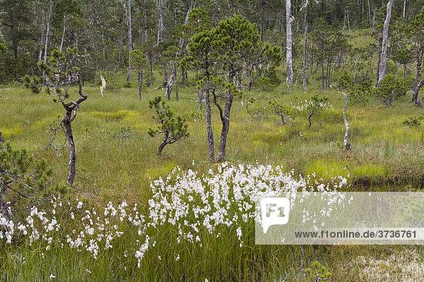 Wollgras in borealer Moorlandschaft  Mitkof Island  Südost-Alaska  Alaska  USA  Nordamerika
