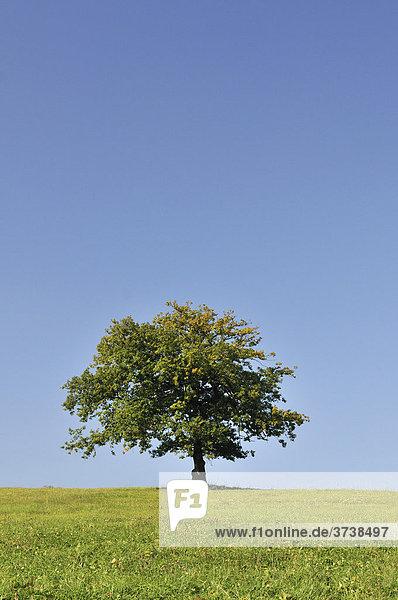 Baum auf grüner Wiese vor blauem Himmel  Eifel  Nordrhein-Westfalen  Deutschland  Europa