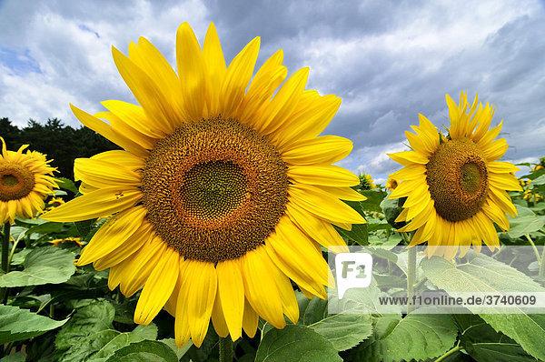 Sonnenblumenfeld in Niederösterreich  Österreich  Europa