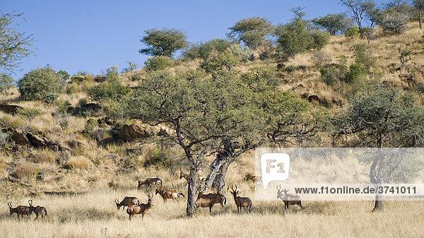 Kuhantilopen (Alcelaphus buselaphus)  Dan Viljoen Nationalpark  Namibia  Afrika