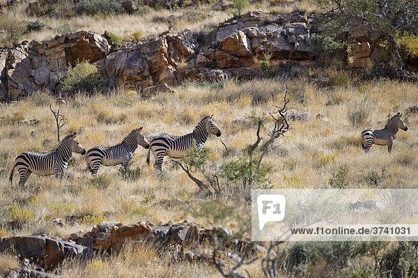 Hartmann's Bergzebra (Equus zebra hartmannae)  Naukluft-Berge  Namibia  Afrika Equus zebra  Bergzebra