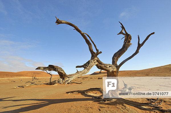Tote Kameldornakazie (Acacia erioloba) im Deadvlei in der Namib  Namibia  Afrika
