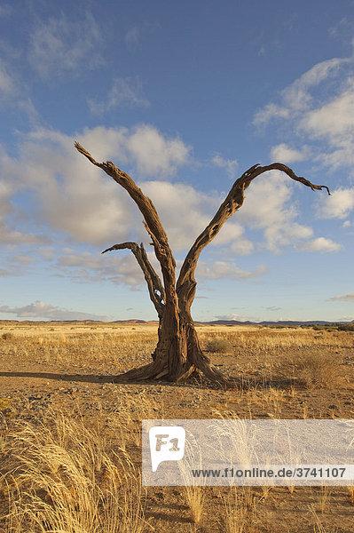 Abgestorbener Baum am Rand der Namib-Wüste  Namibia  Afrika