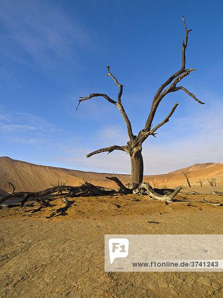 Tote Kameldornakazien (Acacia erioloba) im Deadvlei in der Namib  Namibia  Afrika