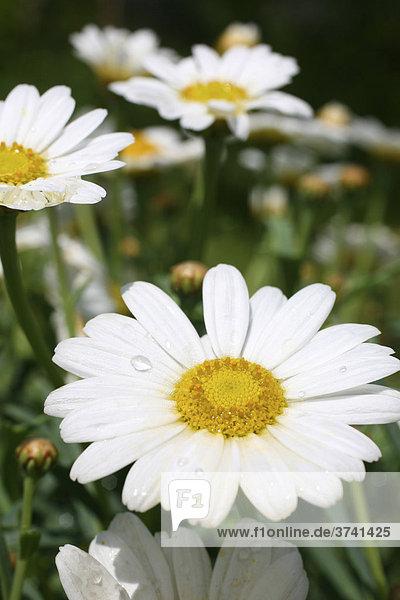 Margeriten (Leucanthemum)  Blüten