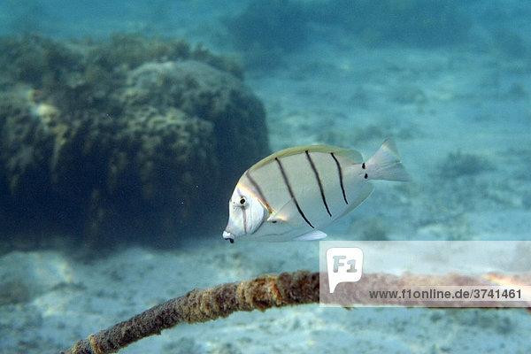 Gitter-Doktorfisch (Acanthurus triostegus)