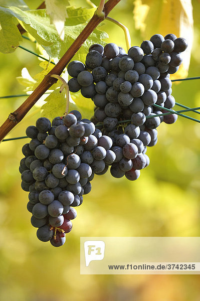 Weintrauben an Rebe im Herbst