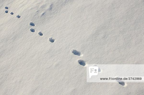 Fährte im Schnee  Feldhase (Lepus europaeus)