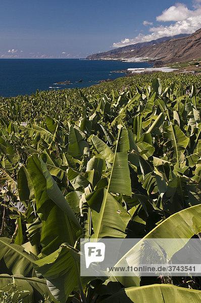 Bananenplantage bei Fuencaliente  La Palma  Kanarische Inseln  Spanien  Europa