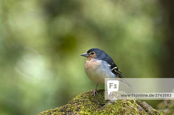 La-Palma-Buchfink (Fringilla coelebs palmensis)  Männchen  La Palma  Kanarische Inseln  Spanien  Europa