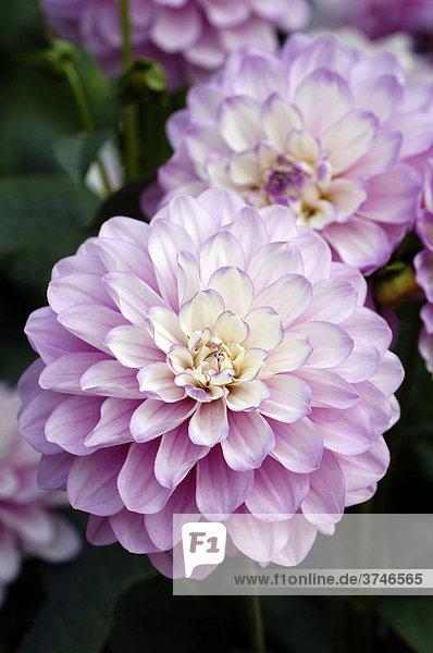 Dahlien (Dahlia)  rosa Blüten  Neusless  Oberfranken  Bayern  Deutschland  Europa