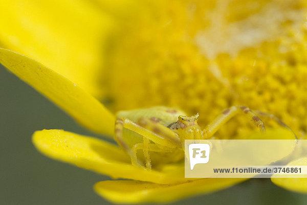 Veränderliche Krabbenspinne (Thomisus onustus) in Lauerhaltung in einer Blüte  schlägt mit den Vorderbeinen zu sobald ein Insekt die Blüte zur Bestäubung aufsucht  FrÈjus  Var  Frankreich  Europa