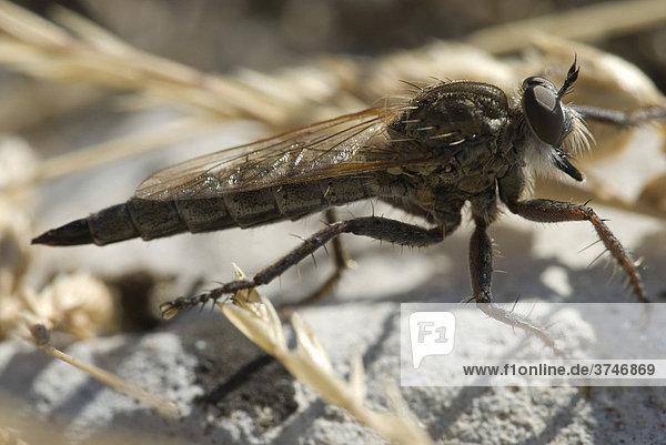 Raubfliege (Asilidae)  Grasse  Alpes-Maritimes  Frankreich  Europa