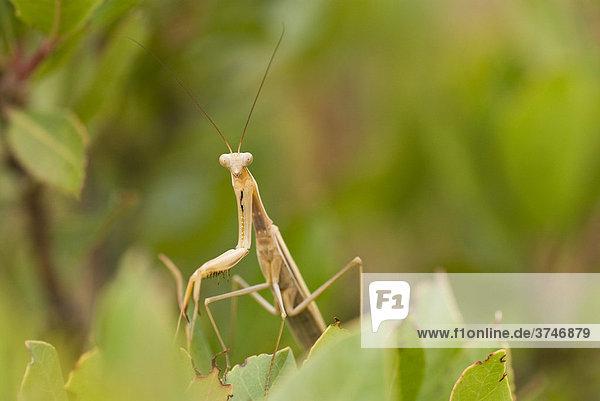 Gottesanbeterin (Mantis religiosa)  FrÈjus  Var  Frankreich  Europa