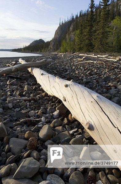 Treibholz am Strand von Lake Lake Laberge See  Yukon  Kanada  Nordamerika