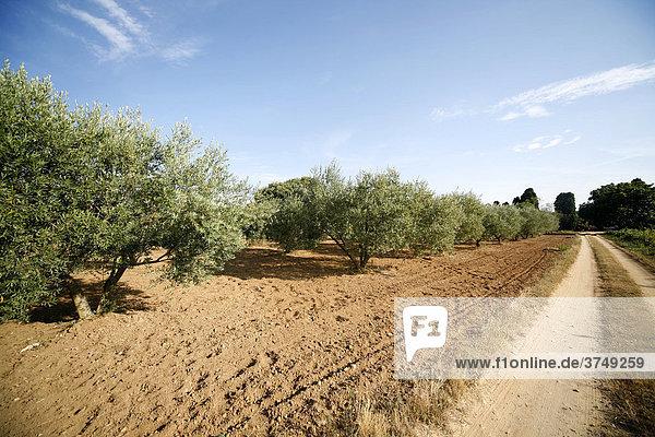 Olivenhain  Costa Brava  Katalonien  Spanien  Europa