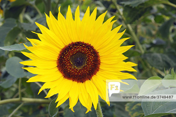 Gewöhnliche Sonnenblume (Helianthus annuus)  Blüte  Deutschland