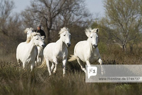 Camargue horses with guardian  Camargue  Southern France  Europe