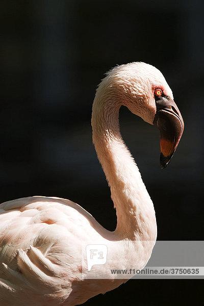 Flamingo (Phoenicopteridae)  Vogelpark Abensberg  Bayern  Deutschland
