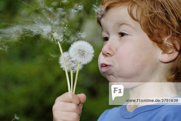 Junge mit Pusteblume  Löwenzahn (Taraxacum)