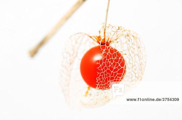 Roter Fruchtkörper einer verblühten Lampionblume (Physalis alkekengi) Roter Fruchtkörper einer verblühten Lampionblume (Physalis alkekengi)