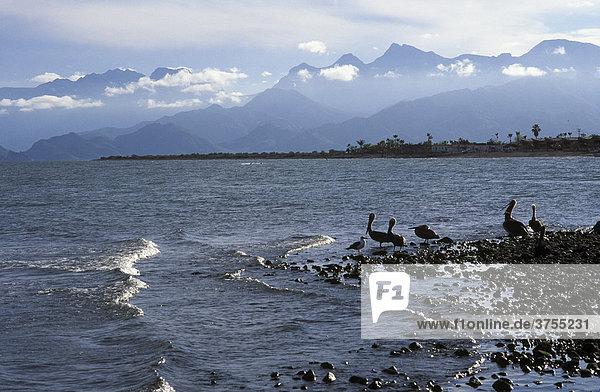 Loreto  Küste mit Pelikanen  Baja California Sur  Mexiko