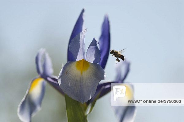 Honigbiene (Apis mellifica) bestäubt Schwertlilie (Iris)  Cannes  Alpes-Maritimes  Frankreich  Europa