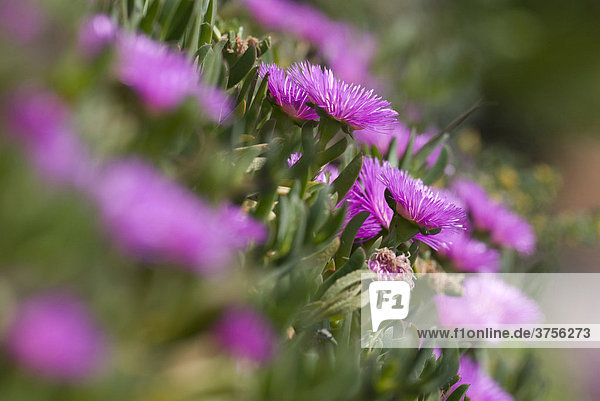 Blüten der Familie Mittagsblumen (Aizoaceae)  Cannes  Alpes Maritimes  Frankreich  Europa