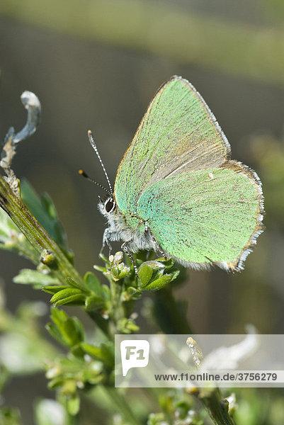 Grüne Zipfelfalter  Brombeer-Zipfelfalter (Callophrys rubi)  Grasse  Alpes-Maritimes  Frankreich  Europa