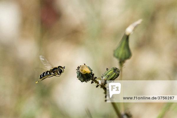 Schwebfliege (Syrphidae) im Schwebflug vor einer Knospe mit Blattläusen (Aphidoidea)  Grasse  Alpes-Maritimes  Frankreich  Europa