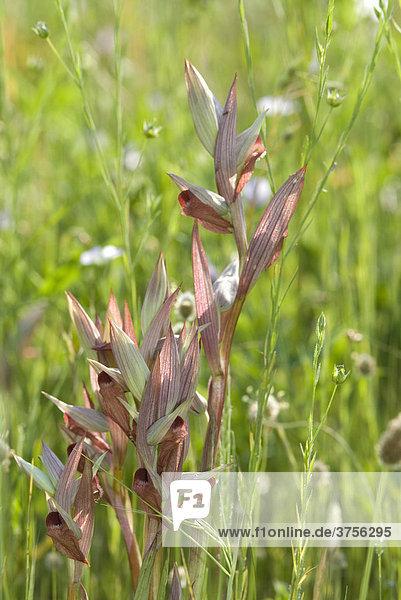 Pflugschar-Zungenstendel (Serapias vomeracea)  FrÈjus  Var  Frankreich  Europa