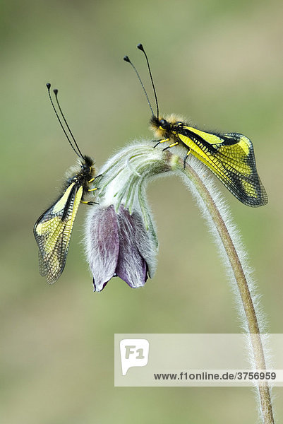 Libellen-Schmetterlingshaft Paar (Libelloides coccajus)  Feldthurns  Südtirol  Italien  Europa