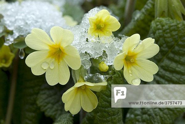 Frühlings-Schlüsselblume (Primula veris)  Schwaz  Tirol  Österreich  Europa