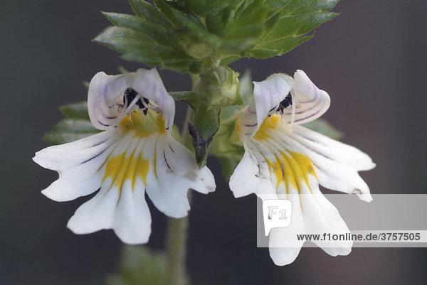 Gewöhnlicher Augentrost (Euphrasia rostkoviana)  Grafenast  Pillberg  Tirol  Österreich  Europa