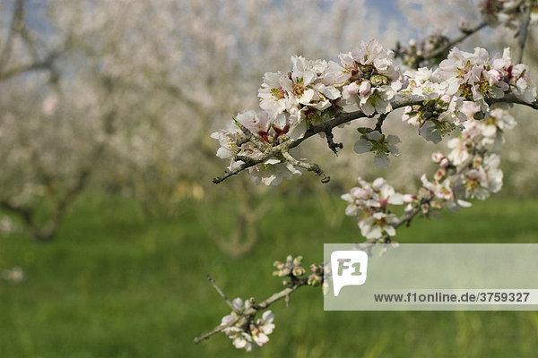 Mandelblüte (Prunus dulcis  Prunus amygdalus) bei Binissalem  Mallorca  Balearen  Spanien