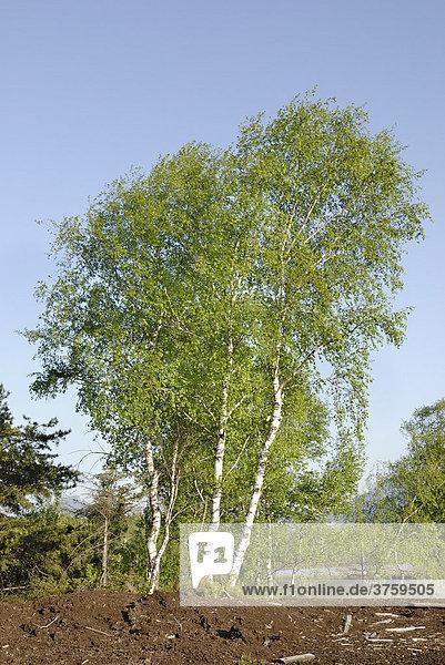 Von Wind gebeugte Baumgruppe von Birken (Betula pubescens) mit frischen Blättern in Moorlandschaft  Raubling  Bayern Deutschland  Europa