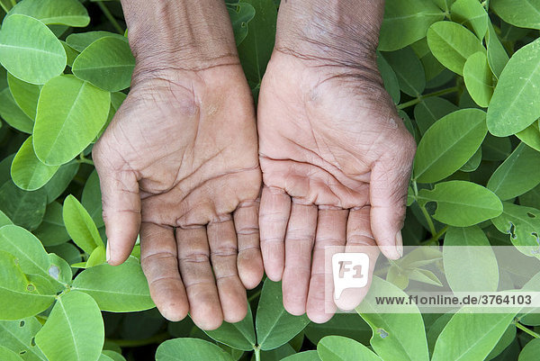 Open farmers hands in a peanut plantation  Koh Kong Province  Cambodia