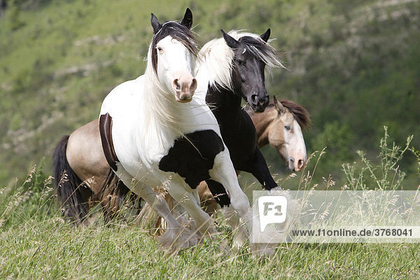 Three Iris Tinker gallopping over a meadow