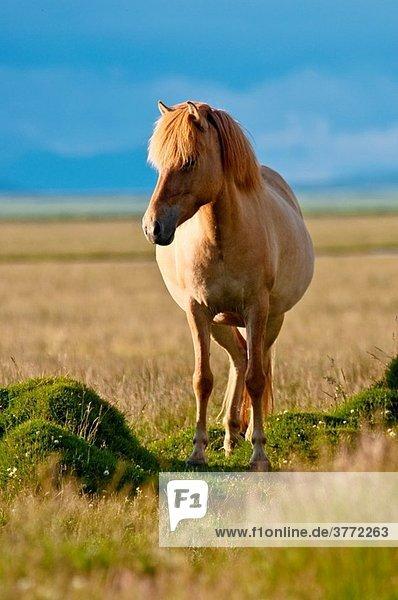 Icelandic horses at Vestur-Landeyjar South Iceland