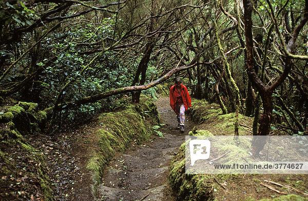 Anaga-Gebirge  Chinobre Lorbeerwald  Teneriffa  Kanarische Inseln  Spanien
