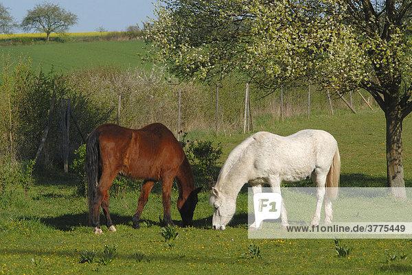 Pferde auf der Weide. Hassberge  Franken  Bayern  Deutschland