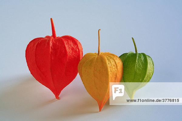Verschiedenfarbige Blüten der Kapstachelbeere (Physalis peruviana)  auch Physalis genannt Verschiedenfarbige Blüten der Kapstachelbeere (Physalis peruviana), auch Physalis genannt