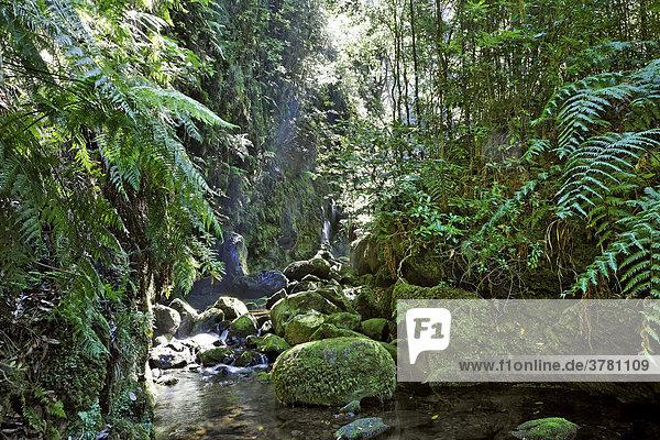 Laurissilva oder Lorbeer oder Laurazeenwald laurel forest (Laurisilva) Levada do Rei (Ribeiro Bonito)  Sao Jorge  Madeira  Portugal