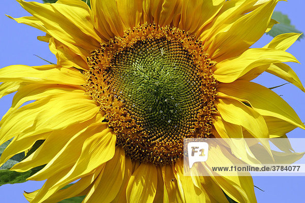 Common sunflower - blossom close up (Helianthus annuus)