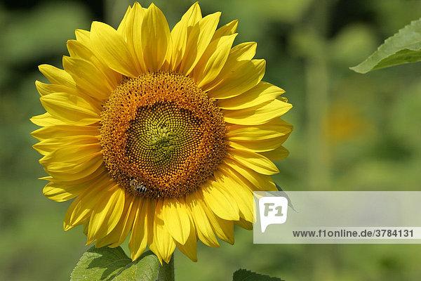 Gewöhnliche Sonnenblume - Blüte - (Helianthus annuus)